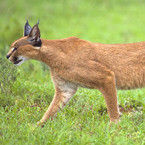 Caracal qui chasse