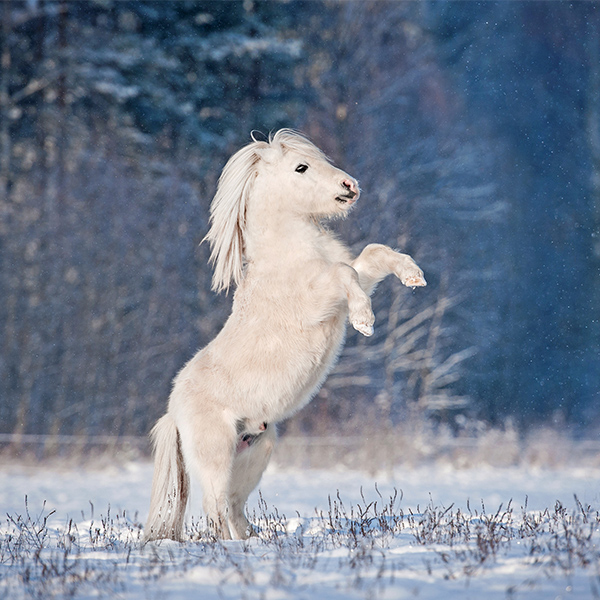 Poney blanc à l'hivers