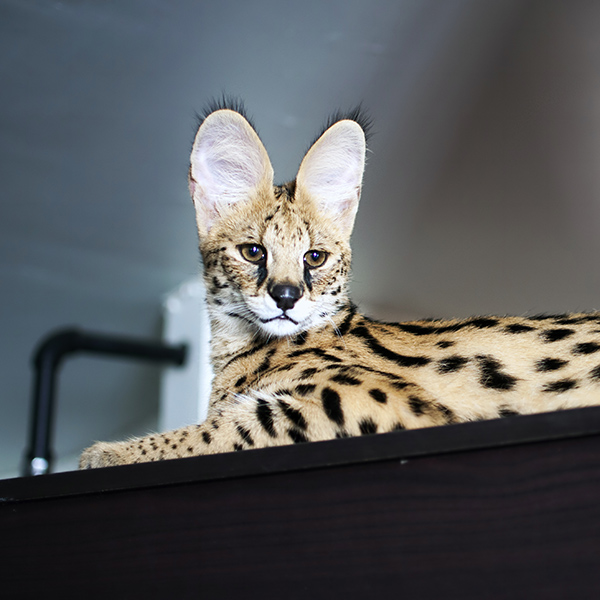 Serval couché sur tablette